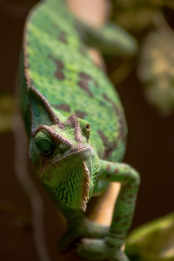 96 best images about chameleons on pinterest zoos