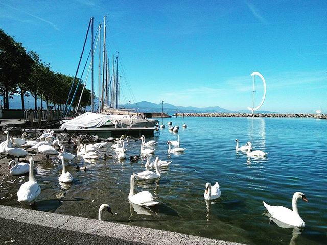 """#ouchy #lausanne #lausannecity #vaud #switzerland #tourism #swans #swan #lake #genevalake #lacleman #molo #marina #bluesky #travel #instago #travelgram"" by @mamieszala. #fslc #followshoutoutlikecomment #TagsForLikesFSLC #TagsForLikesApp #follow #shoutout #followme #comment #TagsForLikes #f4f #s4s #l4l #c4c #followback #shoutoutback #likeback #commentback #love #instagood #photooftheday #pleasefollow #pleaseshoutout #pleaselike #pleasecomment #teamfslcback #fslcback #follows #shoutouts…"