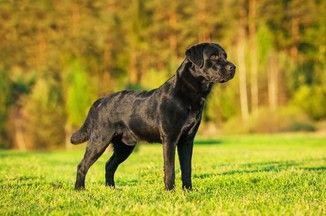 Labrador retriever czarny