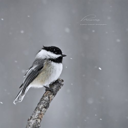 chickadee bird tattoo inspiration