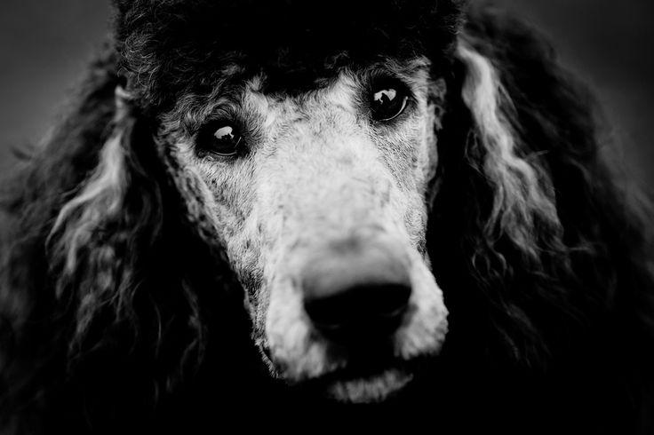 Hondenfotografie zwart-wit reuzenpoedel portret Eindhoven. Foto door Marijke Krekels fotografie