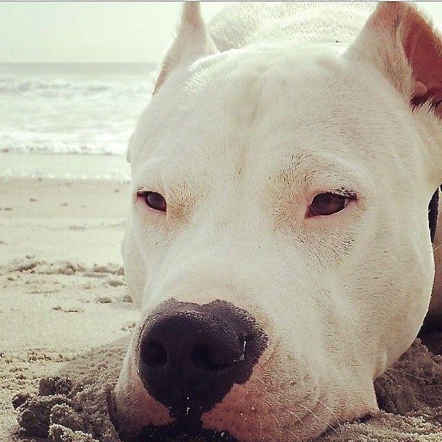 Beautiful Dogo Chubby Adorable Dog - 16015b39c17f7a84419830b08967c1b8--argentina-pets  Graphic_992745  .jpg