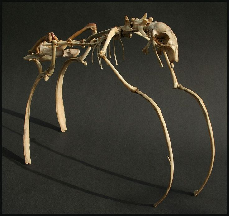 Bone sculpture by Chris Richford: Damavea gallophilus ~ Omnivorous quadruped adapted for life in marshes and estuaries.