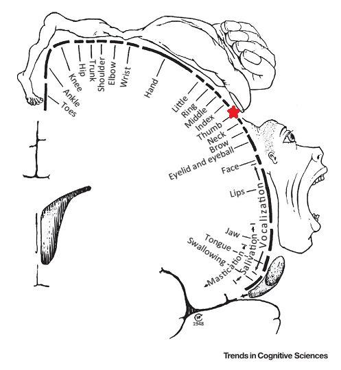 """Many people will be familiar with this rather strange image: It's a depiction of the motor homunculus, which is essentially a """"map"""" of the body located in the brain. The image shows how different spots of the primary motor cortex control different parts of the body. So, for instance, the spot I've highlighted in red …"""