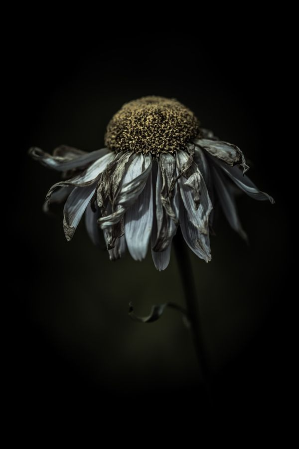 ♂ Artistic nature flower Feeling frazzled in a delighted way by Alan Shapiro