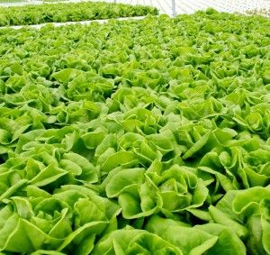 Jenis Sayuran Hidroponik Lettuce Salad