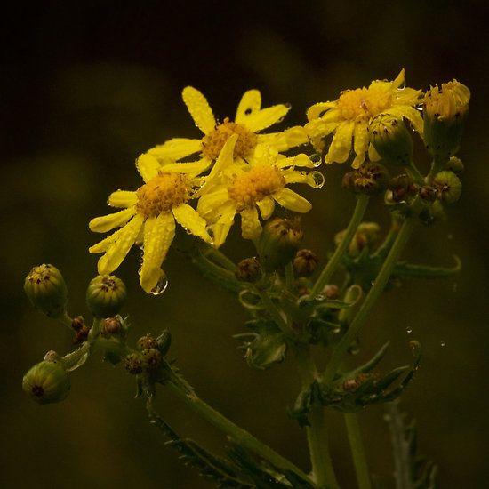 Rainy Yellow Flowers  - Michelle Thompson