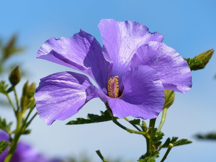 237 best hibiscus images on pinterest small gardens garden ideas native hibiscus ccuart Image collections