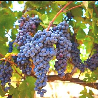 Un particolare delle uve negroamaro della cantina VETRERE