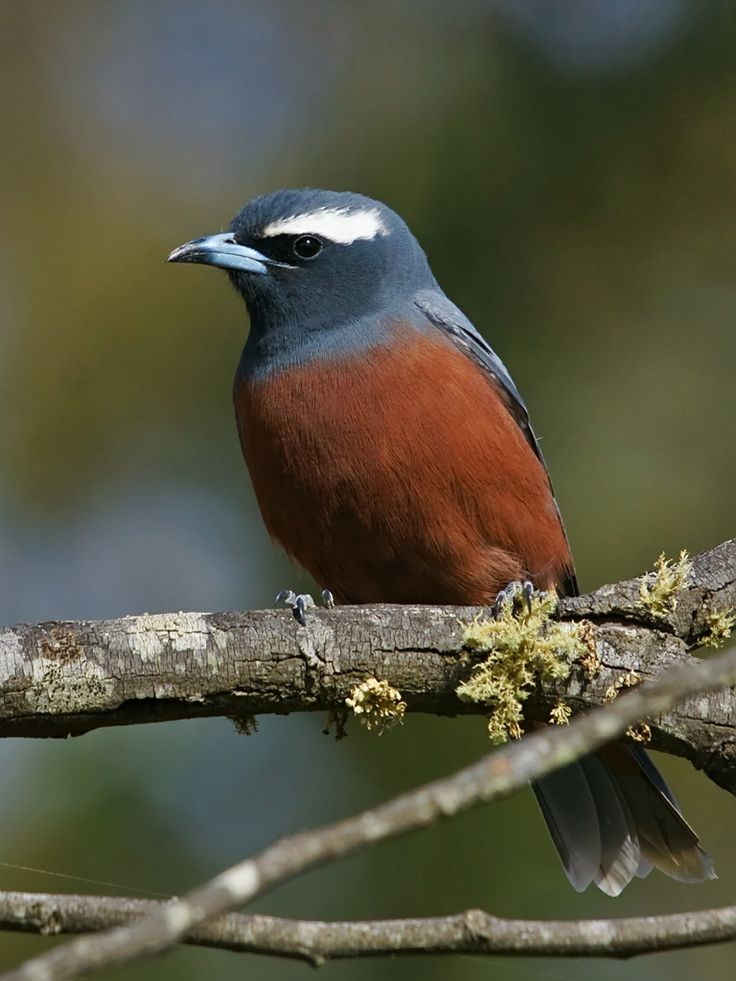The White-browed Woodswallow - Artamus supercillosus, is a dark bird with a distinctive white eyebrow. This species is widespread ...
