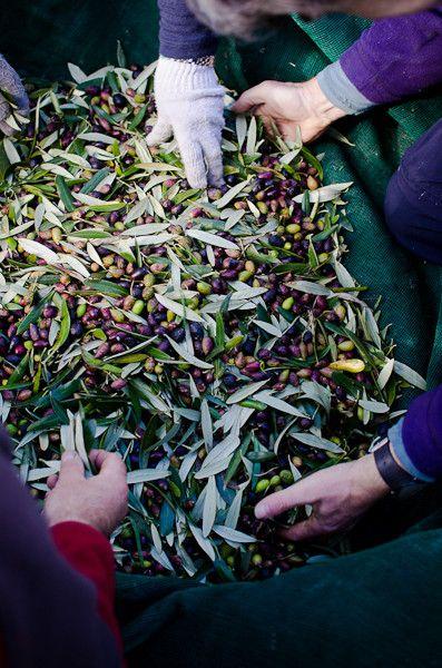 olives harvest by viviane perenyi