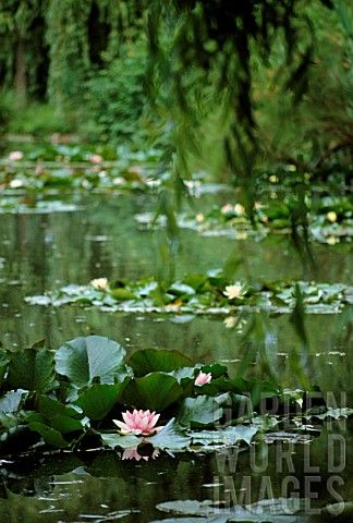 .gorgeous water lilies