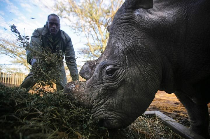 Sudan, the last northern white rhino male in existence, is fed by a caretaker. Photo is courtesy of Ol Pejeta Conservancy Read more at http://www.grindtv.com/wildlife/armed-rangers-guard-last-northern-white-rhino-male/#KltqTPeHrbspPz28.99