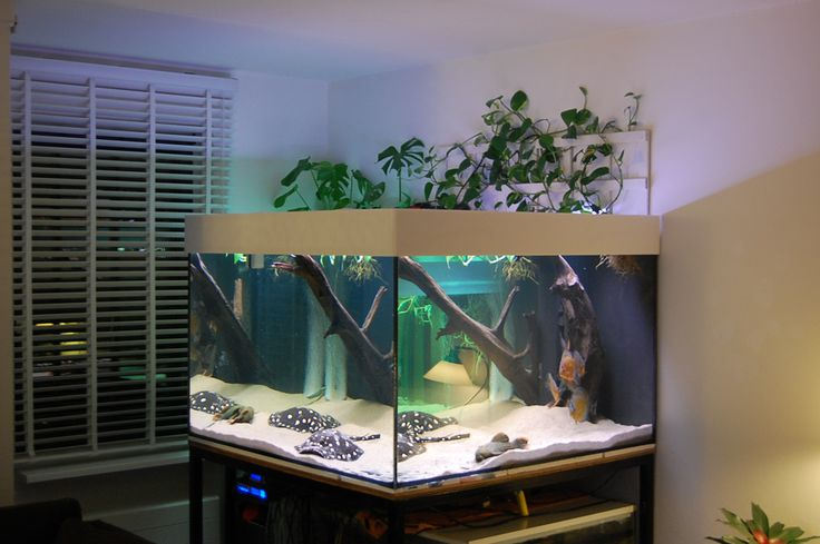 Next tank I have HAS to be big enough for teacup stingrays!