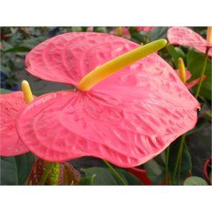 Plant-anthurium 140mm Andreanum Red