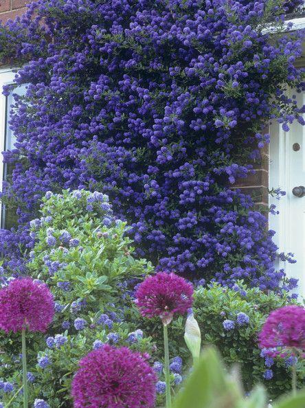 Details: Purple Garden  Keywords: Blue, Pink, Door, Garden, Flowering Onion, Purple, Allium, Ceanothus, Allium Purple Sensation, Californian Lilac, Ceanothus Conche, Brick, Flowers, Climbing Plant