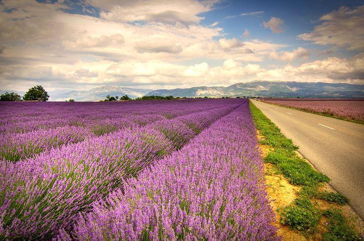 Wanneer bloeit lavendel Frankrijk?