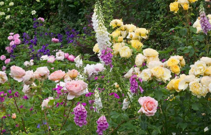 Cottage Garden Borders, Bedfordshire: David Austin roses 'Charles Darwin' (yellow) and 'Abraham Darby' (peach). The magenta geranium, weaving its way between the foxgloves, is G.psilostemon, with peony 'Bowl of Beauty' positioned in front of the upright, dark blue campanulas in the background. - https://www.flickr.com/photos/ukgardenphotos/16185286743/in/album-72157652650448315/