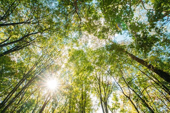 Spring Sun Shining Through Canopy Of Tall Trees. Sunlight In Tro | Summer  trees, Tall trees, Pretty trees