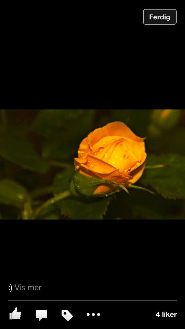 Rose fra hagen min