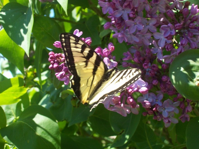 Lilacs and Butterflies