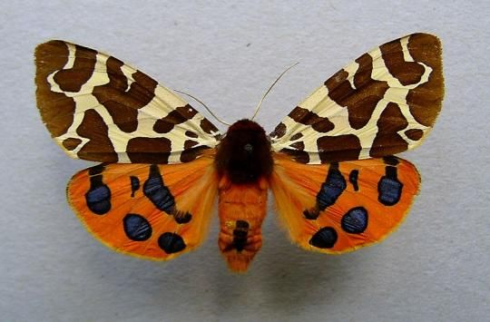 This moth is beautiful but it is deadly. The brightly colored Garden Tiger Moth with wingspan of up to 65 mm has varied wing designs. Its vi...