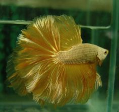 BETTA: Gold Salamander Betta
