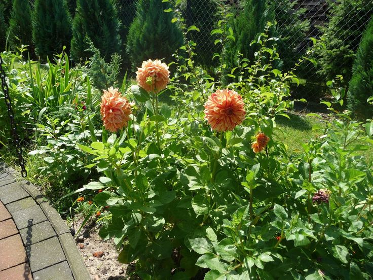 Ręko-czyny: Pora zacząć prace ogródkowe - Pędzenie dalii