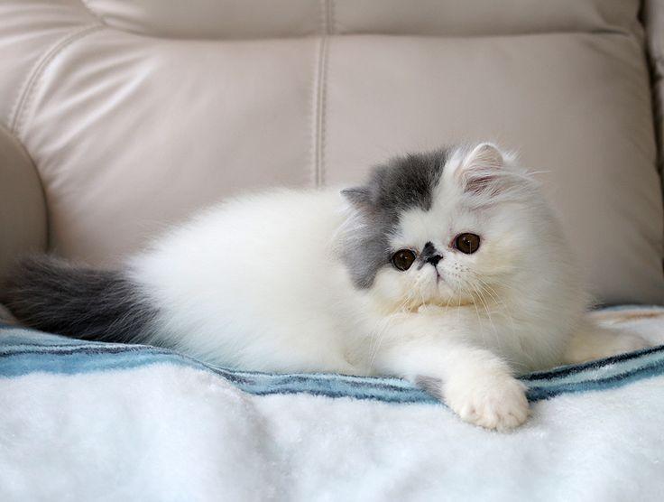 Alfenloch Days Of Thunder Blue White Van Male Persian Kitten Cats Cutecats Cat Cute Cute Cats And Kittens Persian Kittens Persian Cat White Persian Cat