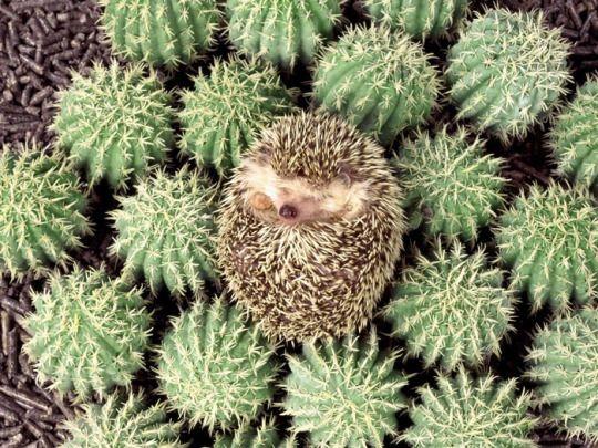 Forever, c'est pour les rêveurs...#egel #hedgehog #igel #hérisson