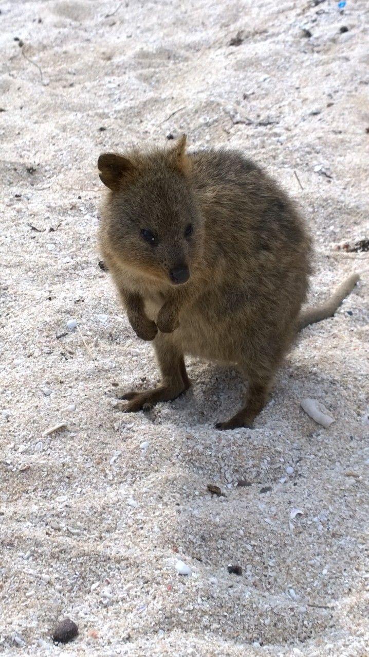Quokka's - unique to Rottnest Island. Very cute little creatures.