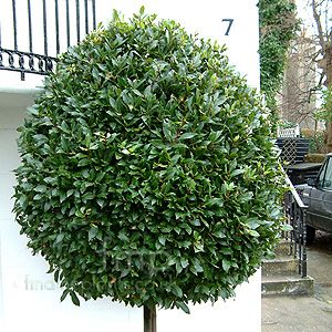 25 best ideas about laurus nobilis on pinterest topiary for Slow growing trees for front yard
