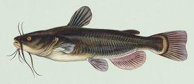 PEZ GATO MOTEADO    Es una especie de pez de la familia Ictaluridae, orden Siluriformes, siendo el siluriforme más común en los Estados Unidos.