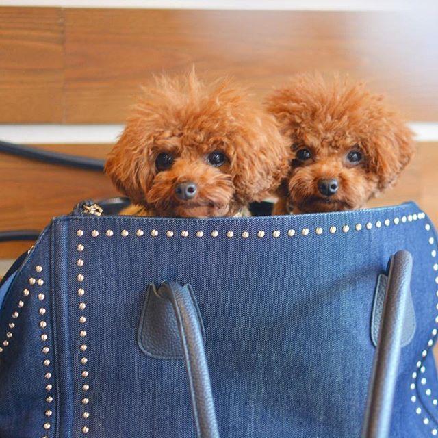 . The twins who entered the bag VOL.5. cremarimorning😘. . いまいちばんお気に入りのキャリーバッグ!. え⁉️ これキャリー⁉️って思うでしょ?、 . IGで仲良くさせて貰ってる @cocopepe.o さんのpicで一目惚れ💓.真似の申し出を優しく快諾してくれてので.ソッコーポチりましてよ 笑. . 大好き!便利なツボがたくさんあってヘビロテちゅっ😘. ♡おしゃれなデザイン. ♡denim×studs!. ♡取り外し可能なショルダーストラップ付き. ♡斜め掛けすれば両手が自由に. ♡バッグ上部には巾着状に締められるカバーが. ♡メッシュなので外の様子が見えてワンコも安心. ♡内側はフワフワの取り外し可能な中敷きが. ♡表裏両サイドにたっぷり収納できるて優れ物. って事でいまイチバンのお気に入り!. . #Instadog  #Instagramdogs #Instapoodle #toypoodle  #teacuppoodle #poodlelove  #dogfashion #todayswanko…