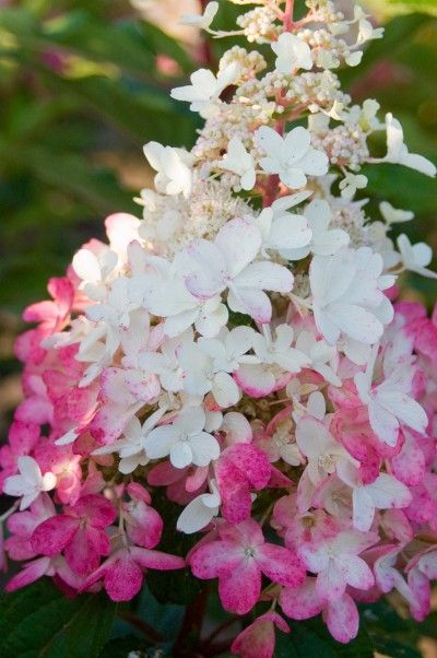 Pinky Winky hydrangea. So beautiful and so strong.  BEAUTIFULLY  HYDRANGEAS  BIS COLOR  ,,,,,LOVE  ,,,**+