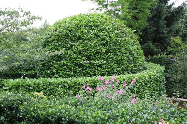 prunus laurocerasus 39 rotundifolia 39 shrubs pinterest. Black Bedroom Furniture Sets. Home Design Ideas
