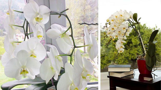 Orchidey zachráni cukor