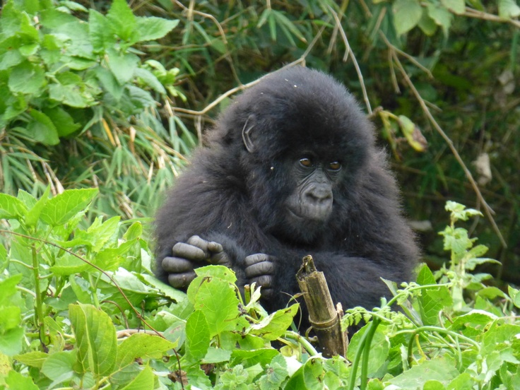 A baby gorilla from the Amahoro family. More at minibeartravels.com