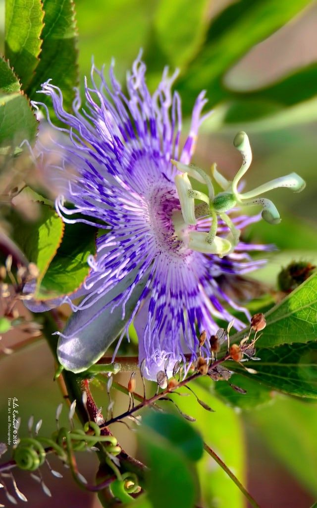 Passion Flower In The Wild Julev69 2 000 000 Views Thank You By Julev69 2 000 000 Views Thank You Passion Flower Flowers Simple Pleasures