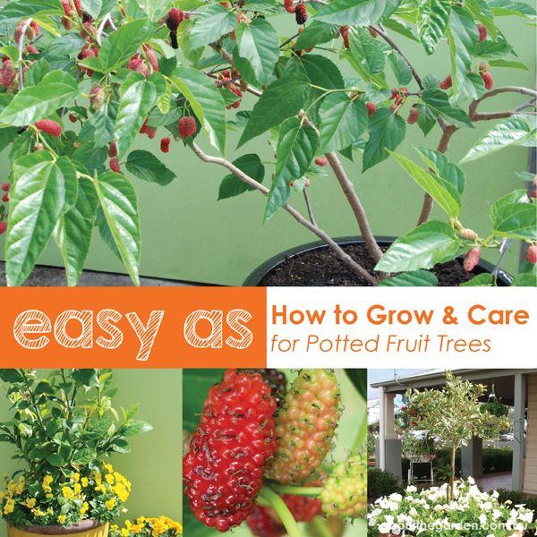 How to grow potted fruit trees in australia #easterdiy #aboutthegardenmagazine