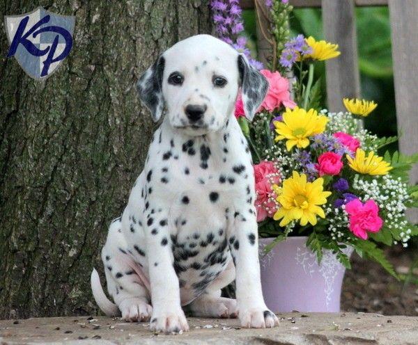 Buttons – Dalmatian Puppy  www.keystonepuppies.com  #keystonepuppies
