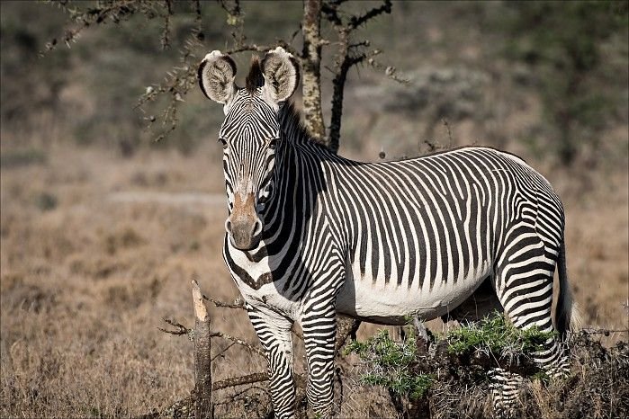Grevy's zebra. Segera guests Benny & Meir shared their beautiful Laikipia wildlife memories with us. Enjoy the visuals and their spectacular wildlife sightings!