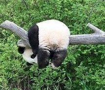 pandaHanging, Funny, Pandas Bears, Adorable, Things, Smile, Pandas Butt, Technical Difficulties, Animal