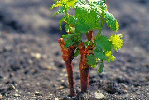 Выращивание саженцев винограда из черенков