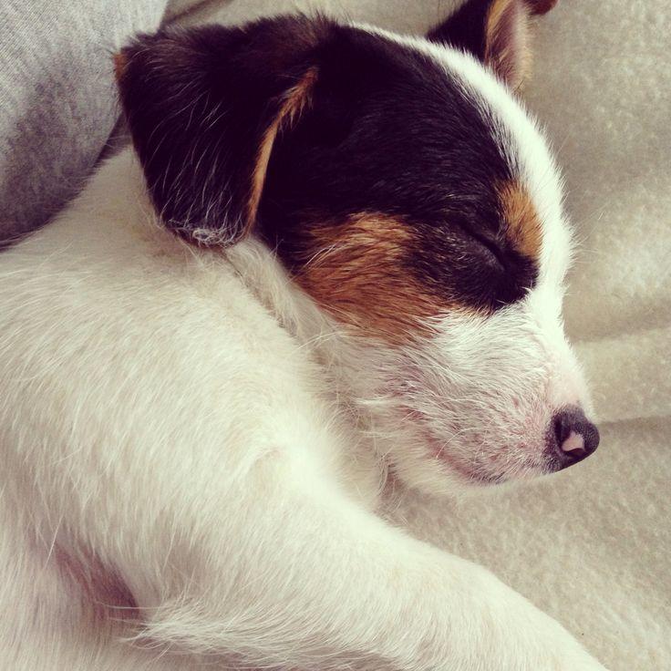 Goku❤️ #jackrussell #puppy #dog