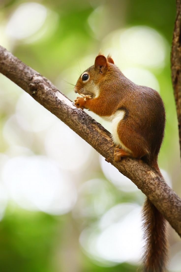 Meaning of white squirrel sighting - Cute Toronto Red Squirrel