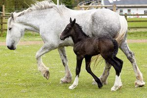 How Long Do Horses Live? The average life span is 25 to 33. Many horses go well beyond this average. Ponies tend to live longer with many living well into their 30s. A few ponies and horses may even reach the age of 40 or over. The oldest horse ever recorded was 52 years old. Larger horses like draft breeds are not as long lived as smaller breeds such as Arabians. Of course, there are exceptions to every rule.