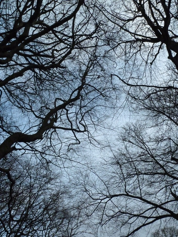 Beech trees against the winter sky