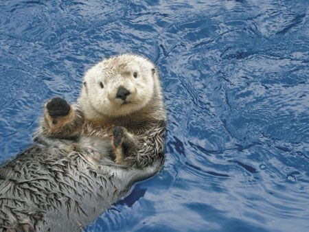 The first sea otter was discovered by Georg Steller in 1751 | Community Post: 14 Surprising Facts About Sea Otters :: @Katie Fletcher  Watch the video at the end. It's proof enough that y'all need an otter habitat in your backyard! ::