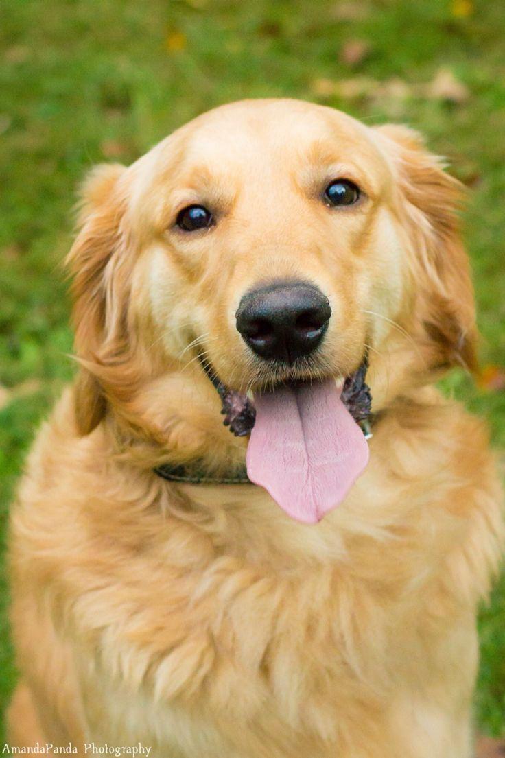 Meet Cooper! Such a sweet boy! Gotta love Golden Retrievers!